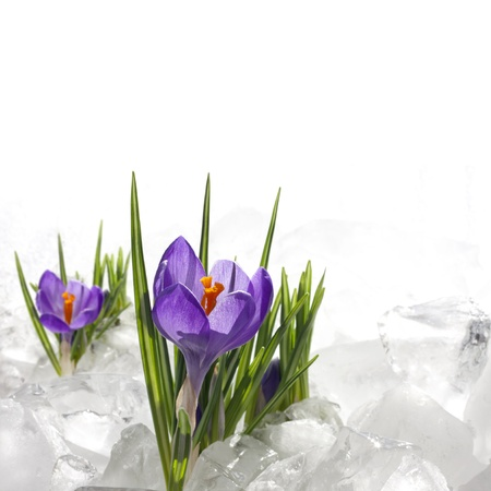 Spring crocus in ice and snow