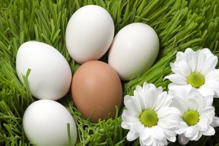 gallina con huevos: huevos orgánicos en la hierba verde Foto de archivo