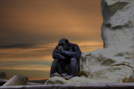 homo: Waiting for idea, chimp thinking on the rock