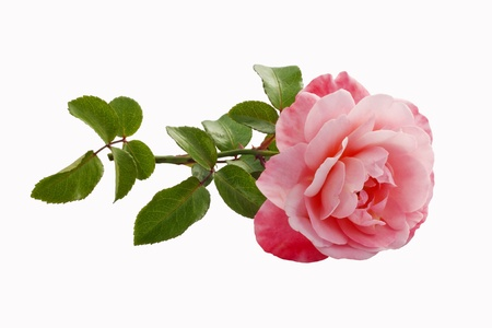 wild rose:  pink rose isolated Stock Photo