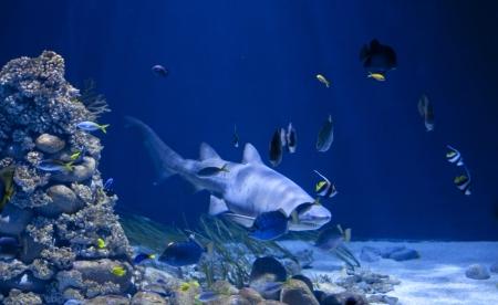 shark in aquarium Stock Photo - 14067499
