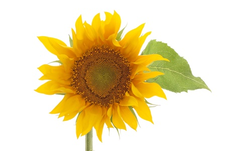 sunflower isolated: girasole isolato su sfondo bianco con foglie Archivio Fotografico