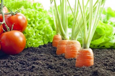 Gemüse Karotten und Tomaten wachsen im Garten