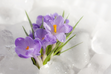 Easter beautiful crocus in snow and ice closeup photo