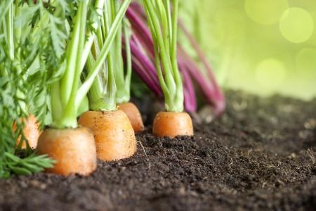 zanahoria: Muchas verduras frescas org�nicas que crecen en el primer jard�n