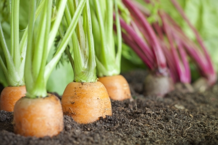 Veel verse biologische groenten groeien in de tuin close-up