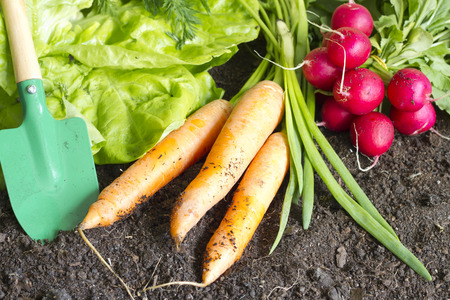 vegetable plants: Fresh spring organic vegetables on the soil in the garden