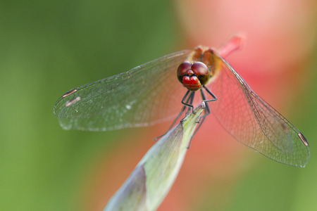 dropwing: Dragonfly on the plant closeup