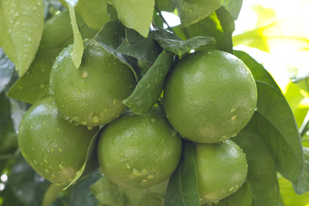 Fresh green ripe grapefruits growing on the tree in the garden photo