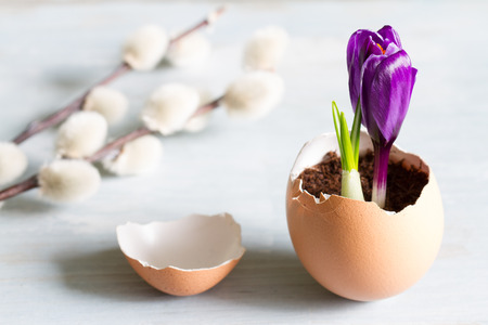 Broken egg and violet crocus easter abstract symbol of new life