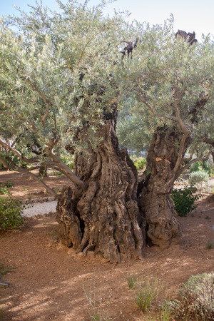 Garden of Gethsemane.Thousand-year olive trees, Jerusalem