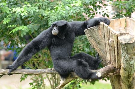 Gibbon climbing on tree branch  photo