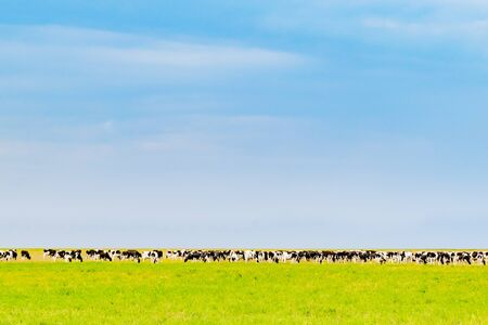 View of a large herd of cows in an open field