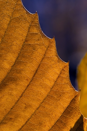 macro chestnut leaf photo