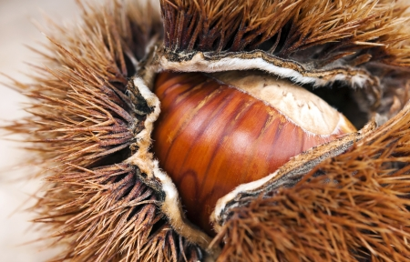 curly chestnut with chestnut macro Standard-Bild