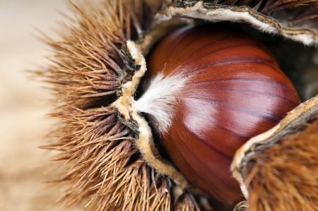 curly chestnut with chestnut macro photo