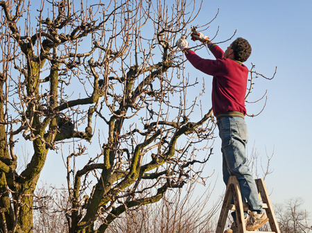 bush trimming: young man pruning pear-tree brunches
