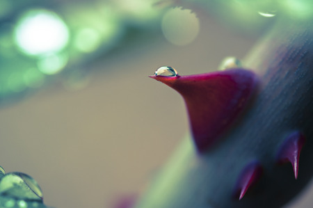 rose thorn with drop macro vintage