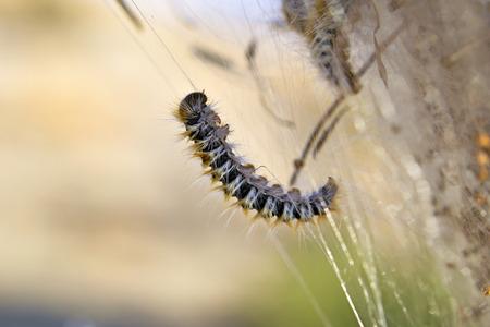 Processionary caterpillar macro Standard-Bild