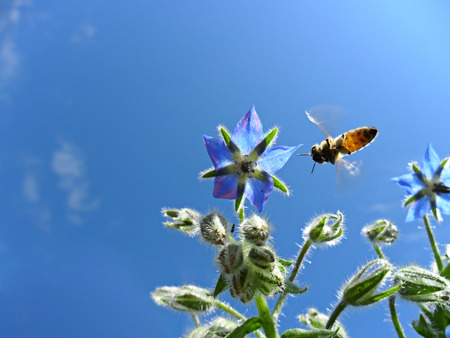 Bee and borage s flower