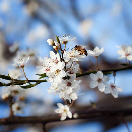 bumble bee: bee on plum flower with pollen in springtime