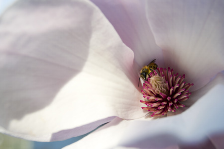 Bee in a magnolia flower photo