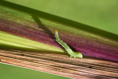 Green moth caterpillar on colored leaf photo
