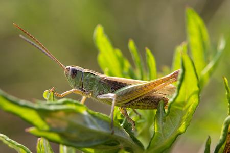 chorthippus: Locust  Chorthippus parallelus  on a leaf in back light  Macro photo