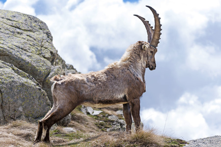 mountain goat: Steinbock, Gran Paradiso National Park, Italy Stock Photo