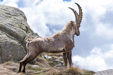 Steinbock, Gran Paradiso National Park, Italy Standard-Bild