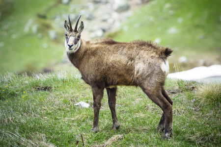 Alpine chamois in Gran Paradiso National Park, Italy photo