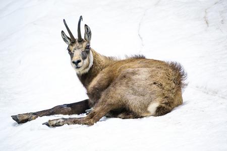 Chamois sitting on the snow photo