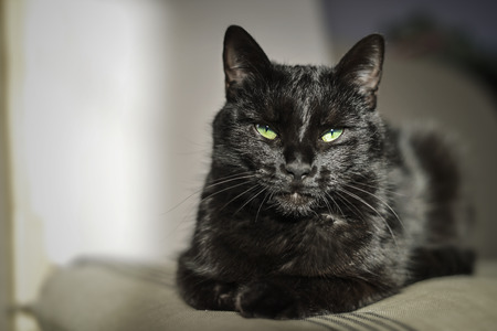 green and black: black cat with green eyes