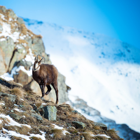 animal park: Alpine chamois in Gran Paradiso National Park, Italy