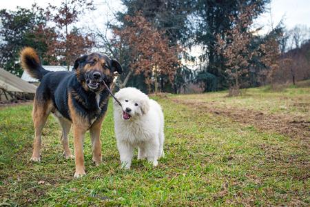 perros jugando: dos perros jugando con un palo
