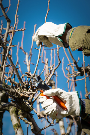 Pruning tree brunch with a pruning shears Standard-Bild