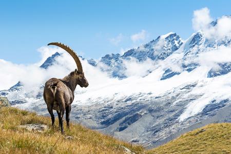 Alpine Ibex Capra ibex, el Parque Nacional del Gran Paradiso, Italia