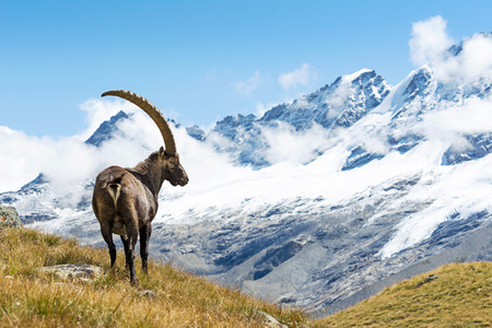 capra: Alpine Ibex Capra ibex, Gran Paradiso National Park, Italy