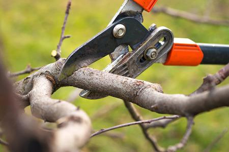 Gärtner Beschneiden Obstbäume mit Baumschere Standard-Bild - 70728068