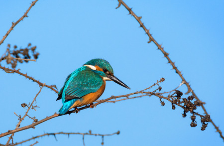 kingfisher on a branch. Piedmont, Italy