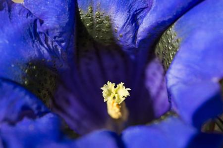 Gentian mountain flower