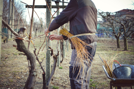 farmer tying vines using yellow willow branches