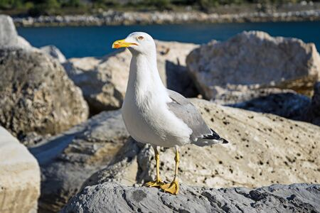 seagull standing on a seaside rock. Mediterranean sea. Italy
