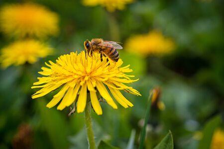 A bee pollinates a yellow dandelion flower in the garden Banco de Imagens