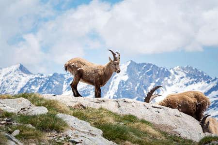 Wild ibex in the italian Alps. Gran Paradiso National Park, Italy Standard-Bild