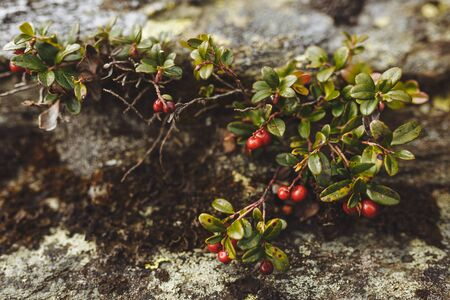 Red berries growing among stones, close up photo. beauty of nature, food, wonder