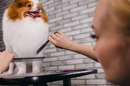 combing and cutting overgrown hair of little dog spitz at grooming salon. professional care in grooming vet salon. animals, pets, grooming concept