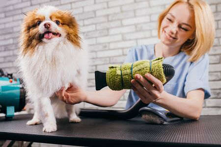professional groomer handle with beautiful pet spitz in salon. professional care of dogs, beauty procedures. wool drying before hair cutting Stock Photo