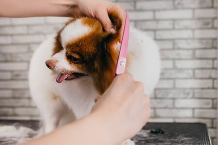 hair cutting of little pet spitz in grooming salon. beautiful dog gets care by professional grooming master, female handle with pet. love job connected with animals