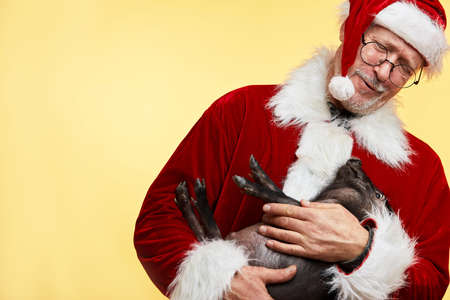 Mature Caucasian man in Santa Claus red suit and hat holding little cute black piggy poses at studio over yellow background. New Year Celebration Concept.